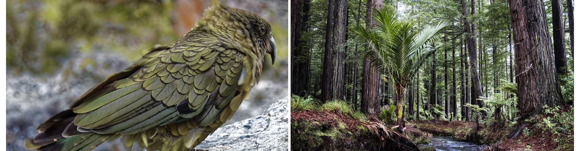 Neuseeland Reisetagebuch Ozeanien Redwood Kea Papagei Dschungel